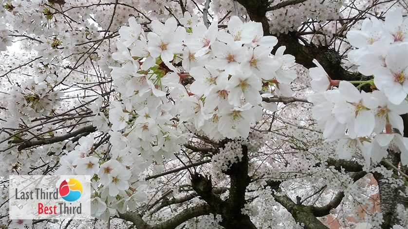 Closeup of white cherry blossoms on stem of cherry tree