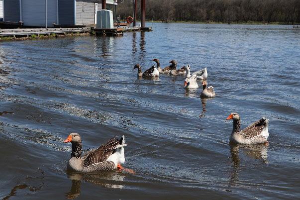 Tango Island Ducks